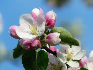 Shenandoah Apple Blossom Festival® Theme Announcement @ Shenandoah Valley Westminster-Canterbury